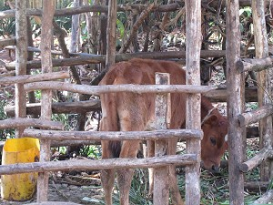 Cattle are very important in Uganda